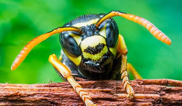 BRAZILIAN WASP'S STING VENOM-'COULD HELP  BATTLE  AGAINST CANCER'
