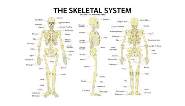 An Overview And Facts, Functions Of Human Skeletal System | SriG Speaks
